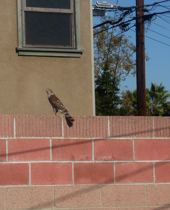Hawk on the wall in our backyard